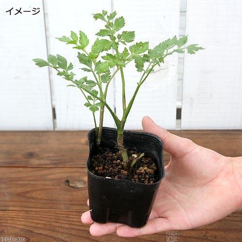 山菜(山野草) セリ(芹)3号