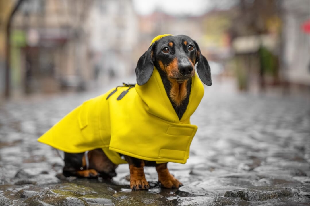 犬用レインコートは「泥はね」が防げてお散歩がラク!スムーズに着せるコツは?