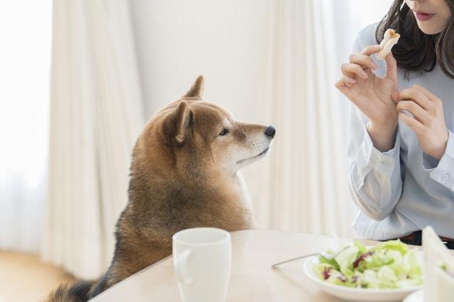 パンを欲しがる柴犬