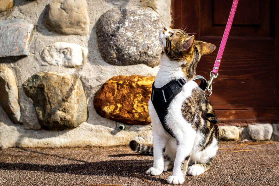 猫用ハーネスおすすめ9選|付け方から選び方のコツまでご紹介!