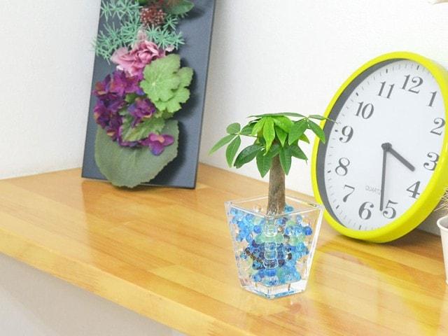 ミニ観葉植物 パキラ スクエアガラスゼリー植え
